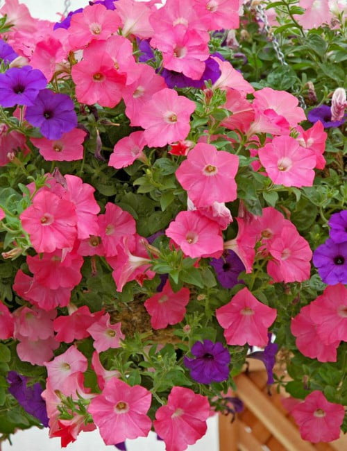 Petunia-Easy-Wave-Beachcomber-Mixture1