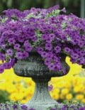 Petunia-Easy-Wave-Blue-Pot