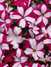 Petunia-Easy-Wave-Burgundy-Star