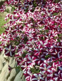 Petunia-Easy-Wave-Burgundy-Star1