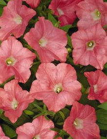 Petunia-Easy-Wave-Coral-Reef