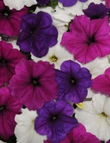 Petunia-Easy-Wave-Great-Lakes-Mixture1