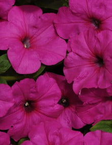 Petunia-Easy-Wave-Neon-Rose-Flower