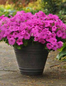 Petunia-Easy-Wave-Neon-Rose1