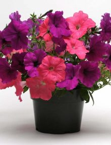 Petunia-Easy-Wave-Opposites-Attract-Mix