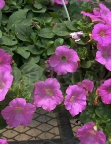 Petunia-Easy-Wave-Pink-Hanging