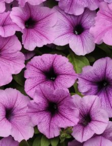 Petunia-Easy-Wave-Plum-Vein