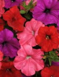 Petunia-Easy-Wave-South-Beach-Mixture