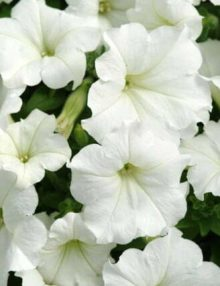Petunia-Easy-Wave-White-IPD
