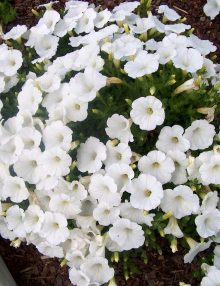 Petunia-Easy-Wave-White1