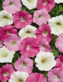 Petunia-Shock-Wave-Buzz-Mix