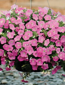 Petunia-Shock-Wave-Pink-Shades