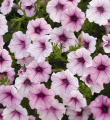 Petunia-Shock-Wave-Pink-Vein