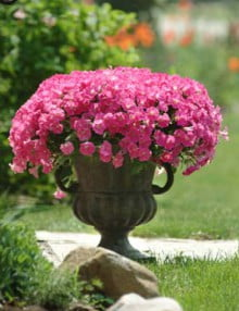 Petunia-Shock-Wave-Rose-Pot