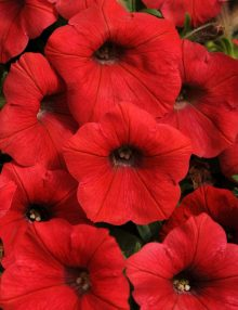 Petunia-Shock-wave-RED