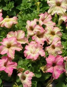 Petunia-Sophistica-Antique-Shades1
