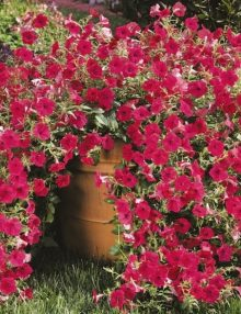 Petunia-Tidal-Wave-Cherry-Pot