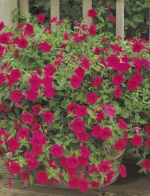 Petunia-Tidal-Wave-Cherry-Pot-Image