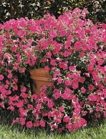 Petunia-Tidal-Wave-Hot-Pink-Pot-Image