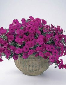Petunia-Tidal-Wave-Purple1