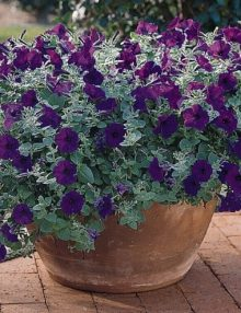 Petunia-Wave-Blue-Pot