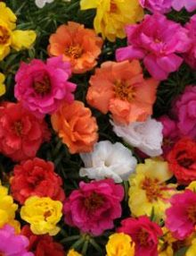 Portulaca-Happy-Hour-Mix