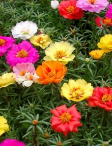Portulaca-Happy-Hour-Mix1