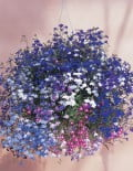 Regatta Mix Lobelia