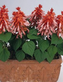 Salvia-Vista-Salmon-Pot