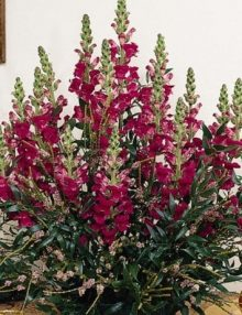 Snapdragon-Maryland-Royal