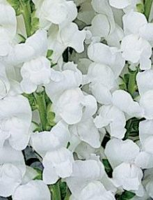 Snapdragon-Maryland-White