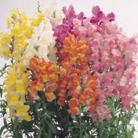 Snapdragon-Solstice-Mix