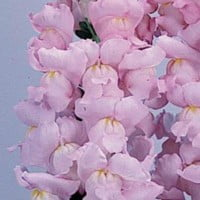 Snapdragon-Winter-Pink