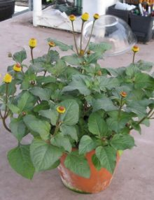 Spilanthes-Oleracea-Toothache-plant