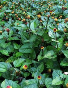 Spilanthes-Toothache-Plant-Yellow1