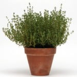 Summer Thyme (0.05 gm containing approx 250 seeds)