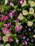Torenia-Kauai-Mixture1