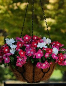 Vinca-Mediterranean-XP-Mix-Hanging