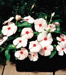 Vinca-Pacifica-XP-Apricot-in-Pot