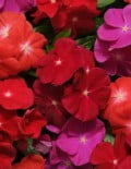 Vinca-Pacifica-XP-Bold-Mix1