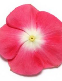 Vinca-Pacifica-XP-Cherry-Red-Halo