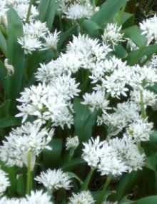 Wild-Garlic-FLOWER
