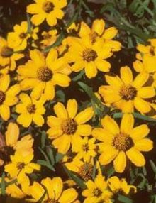 Zinnia-Star-Gold