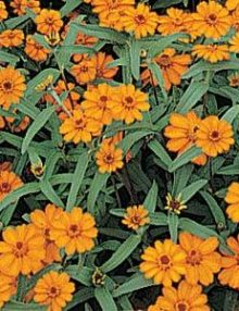 Zinnia-Star-Orange