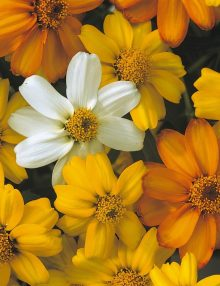 Zinnia-Star-Starbright-Mix