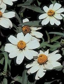 Zinnia-Star-White