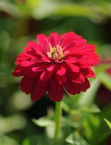 Zinnia-Zahara-Double-Cherry-Bloom