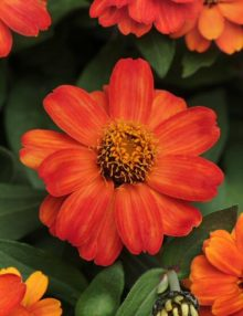 Zinnia-Zahara-Fire-Flower