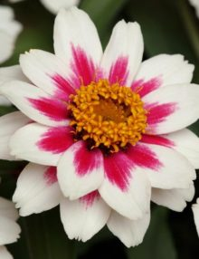 Zinnia-Zahara-Starlight-Rose-Flower