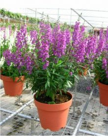 Angelonia-Serena-Purple-Pot-Sy